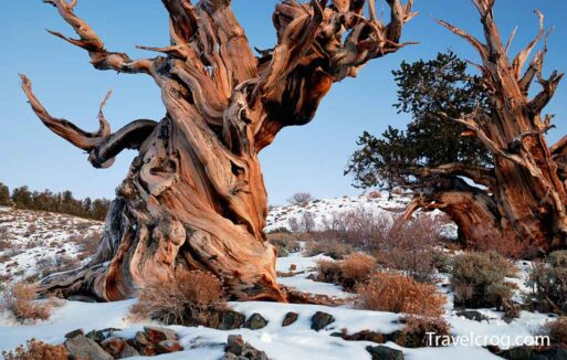Ancient Bristlecone Pine Forest Snow